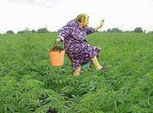 Купить марихуану на гидре